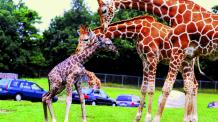 Giraffes and calf with cars in background