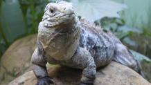 Reptile Discovery Cuban Rock Iguana