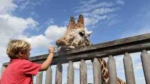 Child feeding giraffe at Camp Aventura, the midway stop on Safari Off Road Adventure