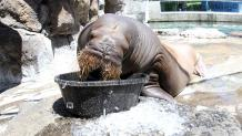 Walrus eating ice in a big bowl