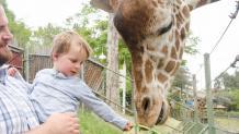 Adult with child feeding a giraffe
