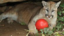 Cougar of Cougar Rocks
