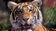 Bengal tiger