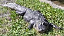 Alligator Isle