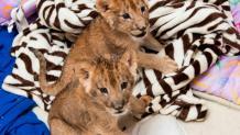 Great Adventure lion cubs