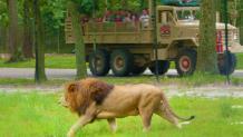 Lion on Silver Safari Tour