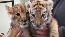 Lion and Tiger Cub
