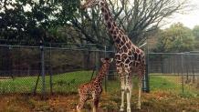 Mother giraffe and calf