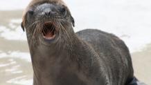 Great Adventure sea lion pup