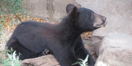 Bear cub laying on log