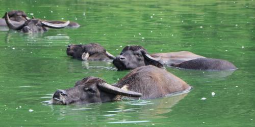 Asian Water Buffalo in water