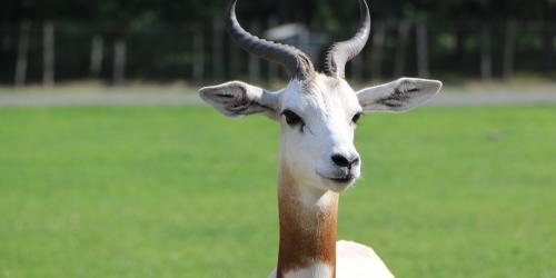 Dama Gazelle standing in grass