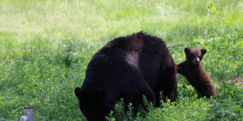 Baby bear leaning on mom bear