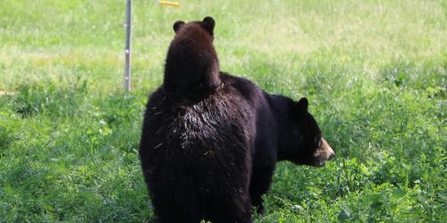 Bear cub riding mom bears back