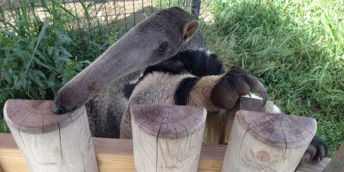 Ant eater climbing on fence