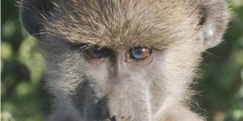 Baboon looking at camera