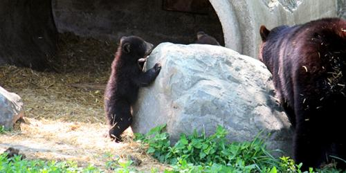 bear cub standing against rock