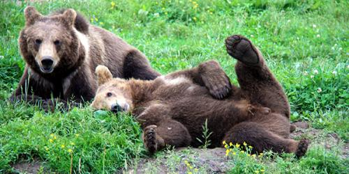 Two brown bears laying in grass