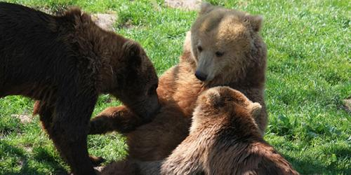 Three brown bears playing