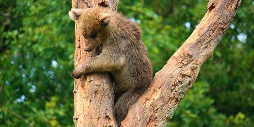 brown bear cub in tree
