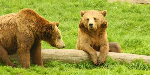two brown bears hanging out near log