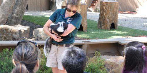 Animal care specialist holding a skunk in front of the crowd