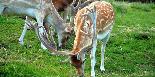 Fallow Deer eating grass