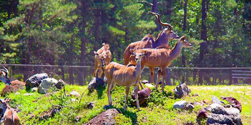 Several Greater Kudu standing on rocks