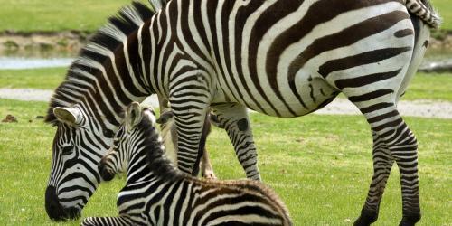 Baby zebra laying next to adult zebra