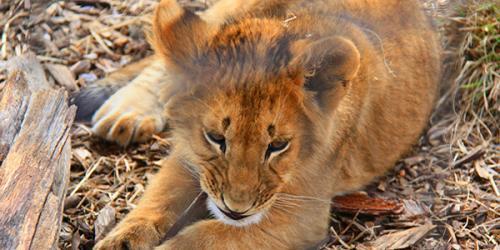 baby lion on ground