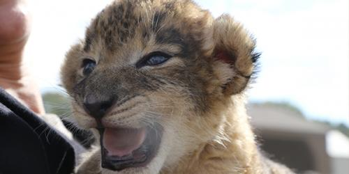 baby lion with mouth open