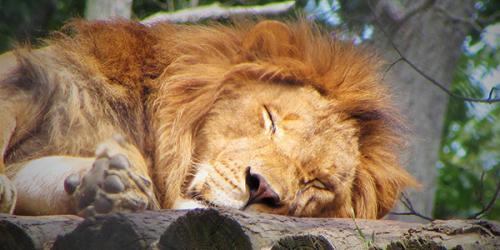 Lion laying on wood sleeping
