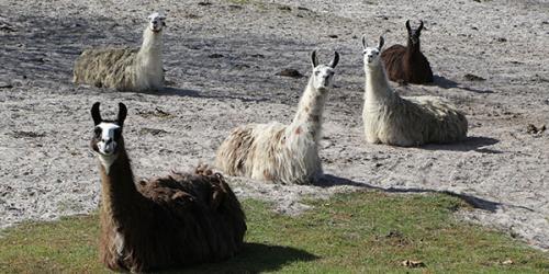 Llamas sitting in field