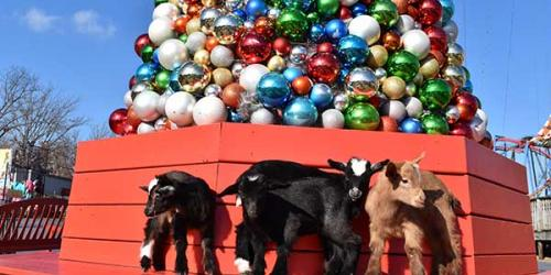 Pygmy goats standing on a ledge with holiday decorations
