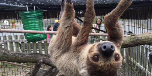 Sloth hanging from top of cage