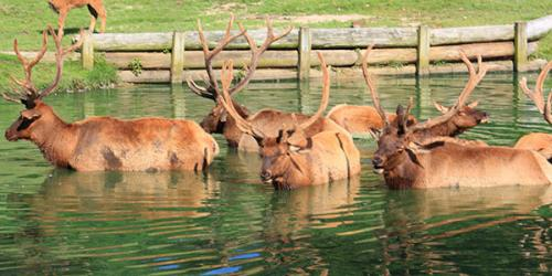 Multiple Roosevelt elk in water