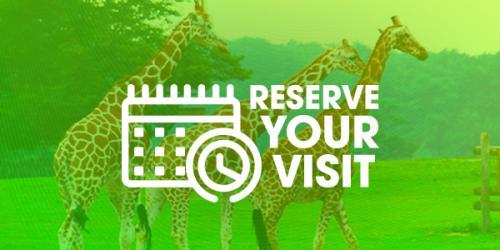 Reserve visit over giraffes walking