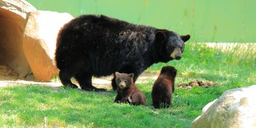 Mamma bear with two baby cubs nearby