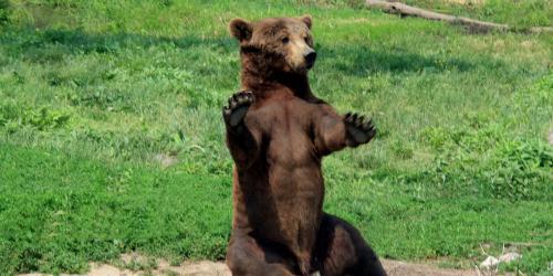 Brown Bear Sitting in field