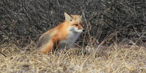 Fox in grass