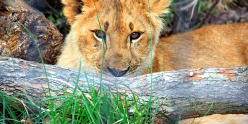 baby lion laying with log in front of face