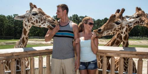 Guy and girl feeding two giraffes