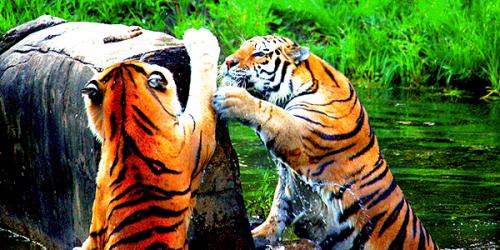 Two tigers climbing rock