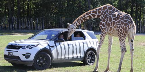 Giraffe placing head in VIP tour vehicle