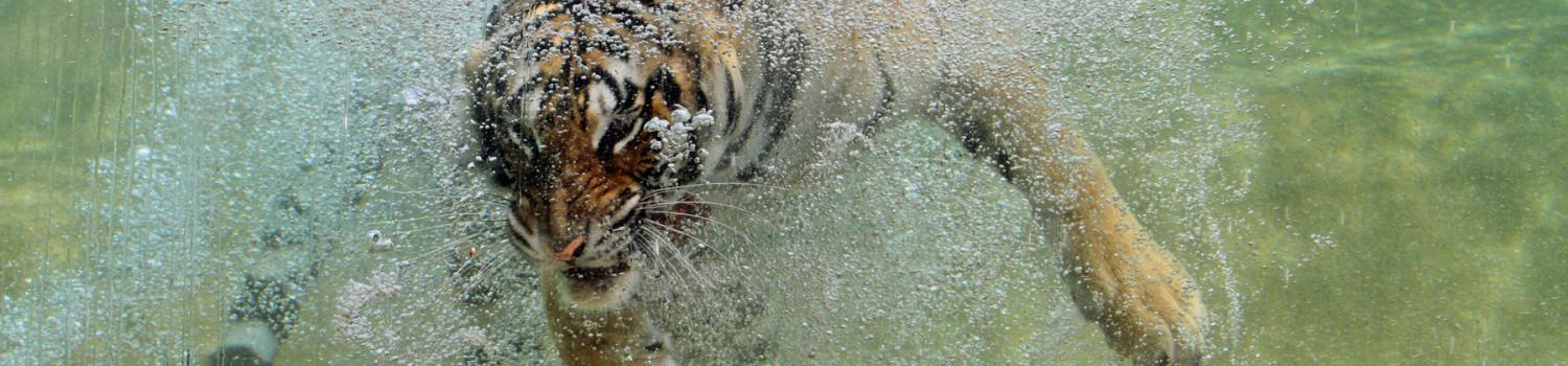 Tiger underwater baring her teeth while she is diving