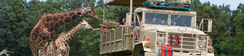 Giraffes sticking heads into safari vehicle