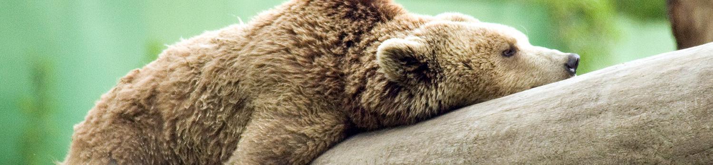 Brown bear laying on log