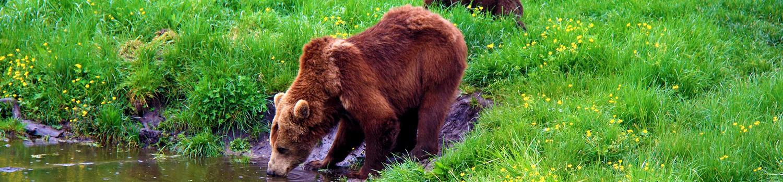 Bear on side of water