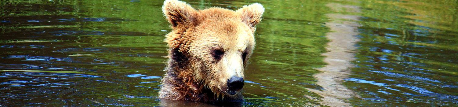Brown bear sticking head out of water
