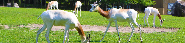 Dama gazelles in grass